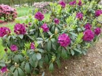 Rhododendron  'Olin O. Dobbs' - Rhododendron