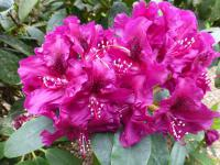 Rhododendron  'Olin O. Dobbs'  Rhododendron flowers