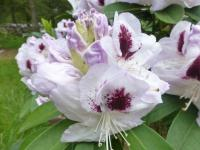 Rhododendron  'Marsala'  Rhododendron flowers