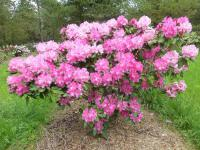 Rhododendron Rhododendron  'Anastasia'