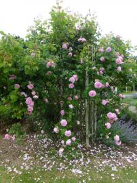Rose Rosa  'Constance Spry'