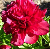Paeonia lactiflora    'Eliza Lundy'  Chinese Peony flowers