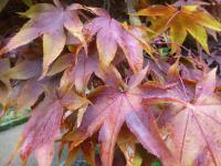 Acer Palmatum Osakazuki About Gardencom