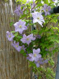 Clematis 'Blekitny Aniol'  clematis plant