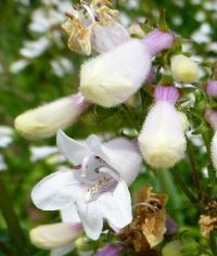 (Penstemon digitalis) Dračík - květ