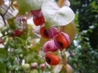 Euonymus verrucosus   Warty Spindle fruits