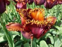 Tulipa 'Black Jewel'  Tulip flowers