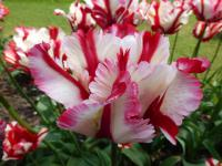 Tulipa        'Flaming Parrot'  Tulip flowers