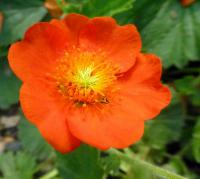 Geum coccineum         'Cooky'  Dwarf Orange Avens flowers
