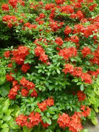 Rhododendron  'Satan'  Rhododendron plant