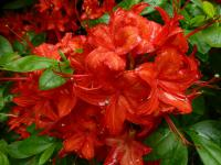 Rhododendron   'Satan'  Rhododendron flowers