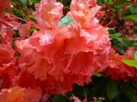 Rhododendron    'Sarina'  Rhododendron flowers