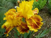 Iris barbata      'Dazzling Gold'  Bearded Iris flowers