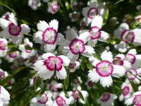 Dianthus deltoides   'Arctic Fire'  maiden pink flowers