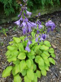 Hosta 'Hydon Sunset'  Plantain Lily plant