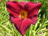 Hemerocallis   'Scarlet Royalty'  Daylily flowers