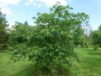 Red Buckeye Aesculus pavia  'Humilis'