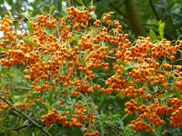 Pyracantha coccinea   'Golden Charmer'  Firethorn plant