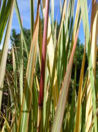 Saccharum ravennae   Hardy Pampas Grass leaves
