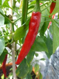 Paprika roční 'Ring of Fire' (Capsicum annuum)