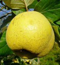 Cydonia oblonga     'Jasenica'  Quince fruits