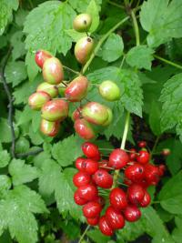 Actaea rubra   Red Baneberry fruits