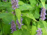 Agastache foeniculum   Blue Giant Hyssop leaves