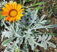 Gazania rigens  'Talent Orange'  Treasureflower plant