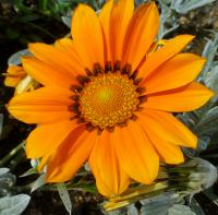 Gazania rigens     'Talent Orange'  Treasureflower flowers