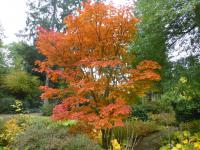 Acer japonicum  'Meigetsu' - Downy Japanese-maple