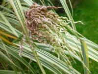 Miscanthus sinensis   'Dixieland'  Chinese Silver Grass flowers