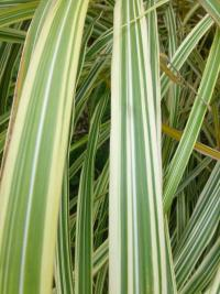 Miscanthus sinensis     'Dixieland'  Chinese Silver Grass leaves