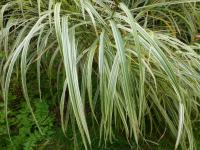 Miscanthus sinensis  'Dixieland' - Chinese Silver Grass