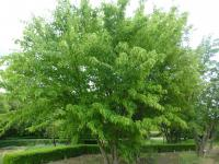 Acer davidii  'Horizontale' - David Maple