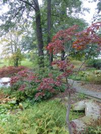 Acer palmatum  'Heptalobum'  Japanese maple plant