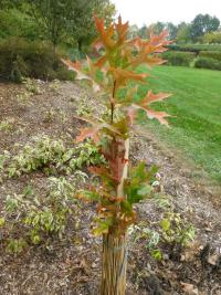 Quercus palustris 'Green Pillar'  Pin Oak plant