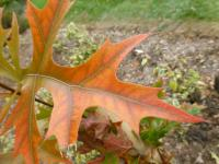 Quercus palustris    'Green Pillar'  Pin Oak leaves
