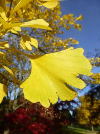 Ginkgo biloba   maidenhair tree leaves