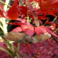 Acer palmatum 'Trompenburg'  Japanese maple fruits