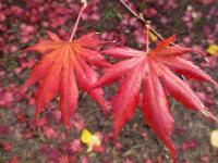 Acer palmatum    'Trompenburg'  Japanese maple leaves