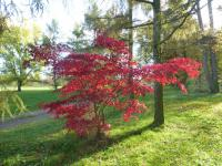 Acer palmatum 'Burgundy Lace'  Japanese maple plant