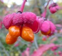 Euonymus europaeus        'Red Cascade'  Spindle fruits