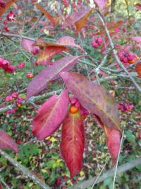 Euonymus europaeus          'Red Cascade'  Spindle leaves