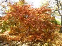 Acer palmatum  'Tamahime' - Japanese maple