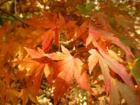 Acer palmatum   'Tamahime'  Japanese maple leaves