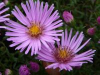 Aster dumosus     'Peter Harrison'  Rice Button Aster flowers