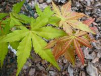 Acer palmatum     'Orange Dream'  Japanese maple leaves
