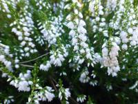 Calluna vulgaris   'Spring Cream'  Heather