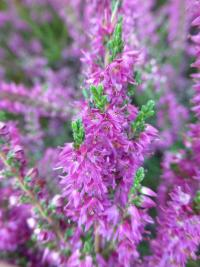 Calluna vulgaris   'Allegretto'  Heather plant