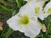Denivka 'Gentle Shepherd' (Hemerocallis hybrida)